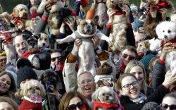 Ноосон цамцтай 350 нохой цугларч, дэлхийн дээд амжилт тогтоолоо