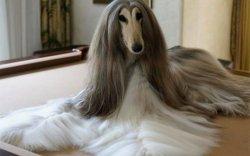 Таниас ч сайхан үстэй нохой Нирвана
