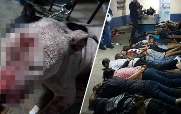 Нохой зодоон зохион байгуулсан 41 хүнийг баривчиллаа