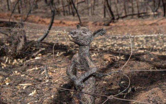 Австралид нөхцөл байдал хурцдаж, амьтад шатаж байна