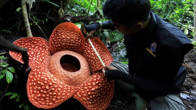 Дэлхийн хамгийн том цэцэг муудсан мах шиг үнэртдэг