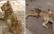 Амьтны хүрээлэнгийн арслангууд үхэж байна