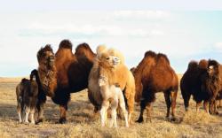 Тэмээний бөхнөөс хавдар эмчлэх бэлдмэл гаргажээ