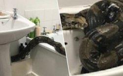 Угаалгын өрөөнөөс нь 240 см аварга могой олджээ