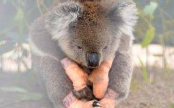 Австрали: Амьтны 113 зүйлд яаралтай тусламж хэрэгтэй байна