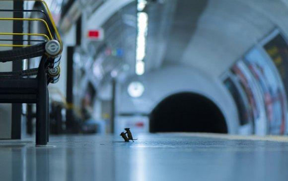 """Оны шилдэг гэрэл зураг: Метронд """"зодолдож буй"""" хоёр хулгана"""