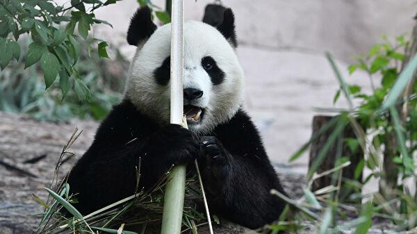 Москвагийн амьтны хүрээлэнгийн панда хулсгүй үлдэхгүй