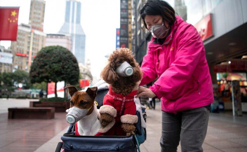 Нохойноос коронавирусийн халдвар илэрсэн нь батлагдлаа