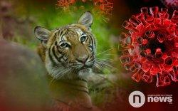 Амьтны хүрээлэнгийн бэрс коронавирусийн халдвар авчээ