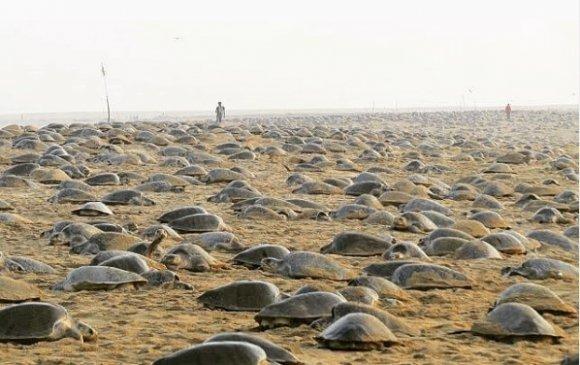 Хөл хорионы ачаар хэдэн зуун мянган яст мэлхий өндөглөжээ