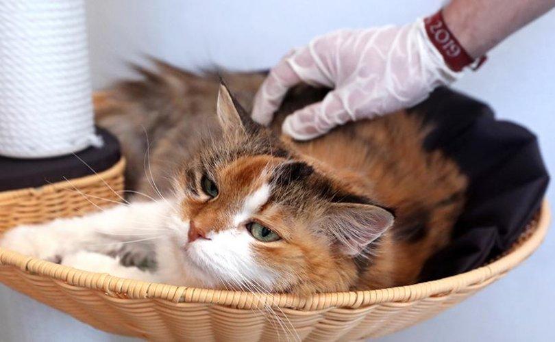 COVID-19-ийн вакциныг туршихад хамгийн боломжтой амьтан нь муур