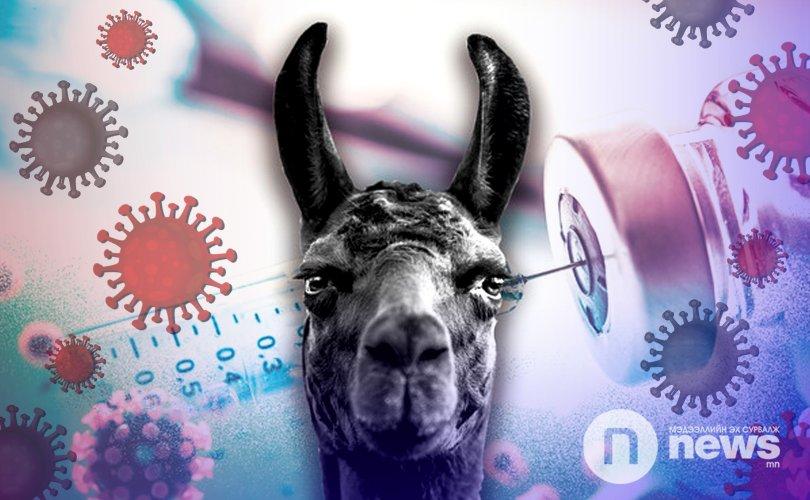 Лам гөрөөс бол хүн төрөлхтөнийг коронавирусээс аврах нууц хөзөр