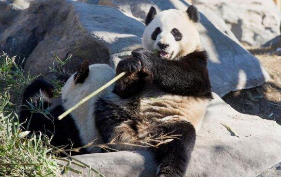 Хулсны баавгайг тэжээх боломжгүйгээс Хятад руу буцаана