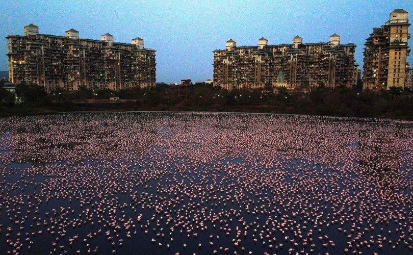 Хөл хориотой Энэтхэгт мянга мянган фламинго чуулж байна