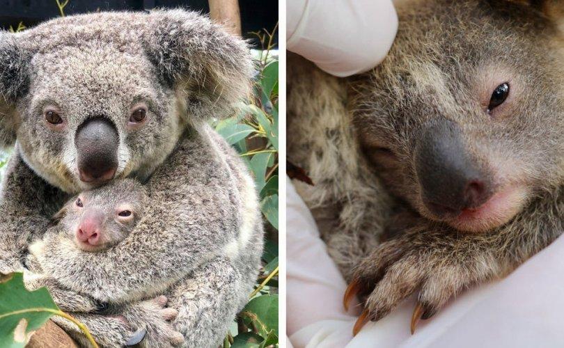 Австралийн их түймрээс хойшхи анхны коалаг хүлээн авлаа