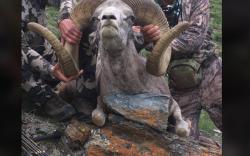 Америк эмч 80 мянган паундаар Монгол Алтайн аргаль агнажээ