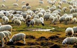 БНХАУ-ын тал тусламжийн 30 мянган хонио амьдаар нь авна гэжээ