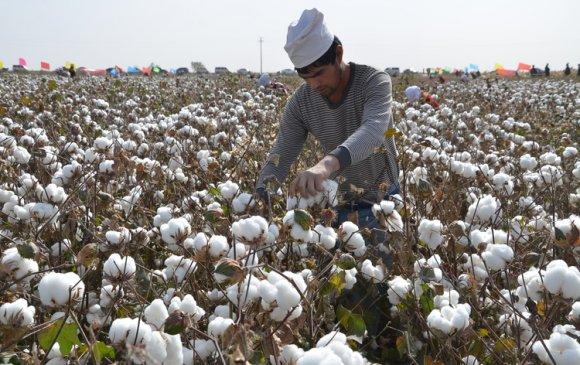 АНУ Шинжаан-Уйгураас хөвөн, улаан лооль импортлохоо зогсооно