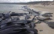 Австралийн эрэг дээр 400 орчим халим үхжээ