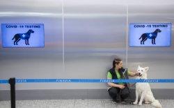 Финландын нисэх буудал нохойгоор коронавирус оношлуулж эхэлжээ
