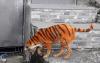 Tiger-Dog-2