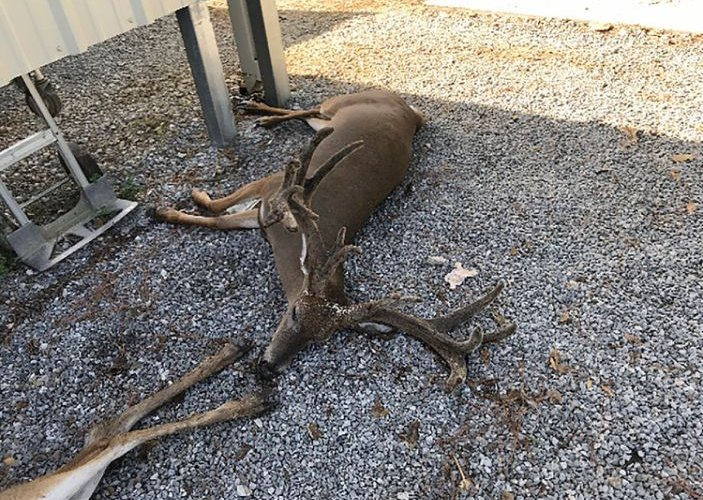 Шумуулд хазуулсан хэдэн зуун амьтад цус алдан үхэж байна