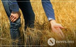 Ургац хураалт оройтож, гурил импортолж болзошгүй