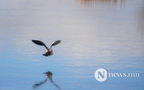2021 онд 250 шувуу агнахыг зөвшөөрчээ
