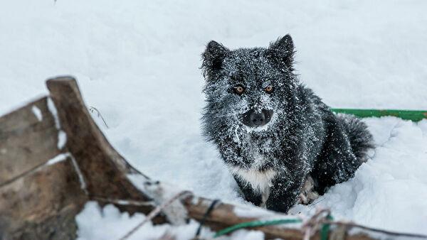 Ненецүүд лайка нохойгоо тусгайлан үржүүлнэ