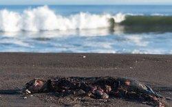 Авача булангийн далайн амьтдын 95 хувь нь үхжээ