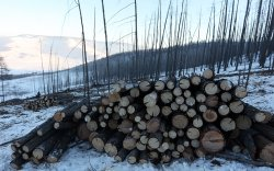 Нийслэлийн ногоон бүсэд ойн цэвэрлэгээ хийж байна