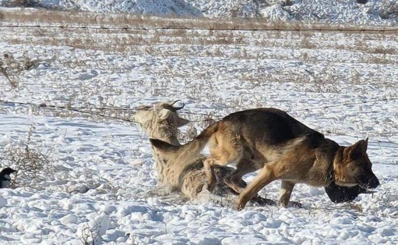 Богд ууланд гөрөөс барьж идсэн 32 зэрлэг нохойг устгажээ