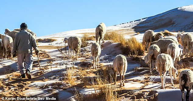 38110756-9156697-Sheep_can_be_seen_standing_on_the_ice_covered_dunes_in_the_Alger-a-83_1610897374720