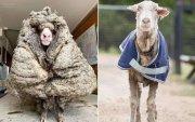 Баарак хониноос 35 кг ноос хяргажээ