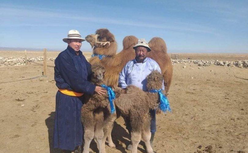 Говь-Алтай аймгийн Шарга суманд ингэ ихэрлэжээ