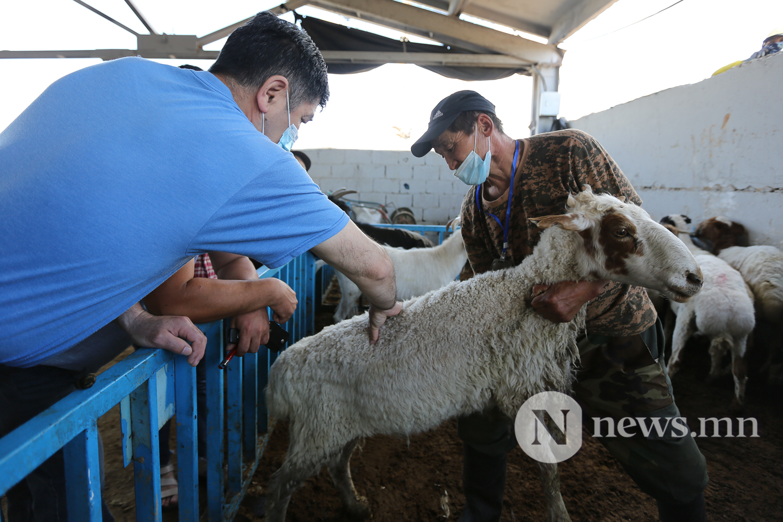 Эмээлт хонь сурв (11)