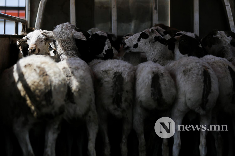 Эмээлт хонь сурв (5)