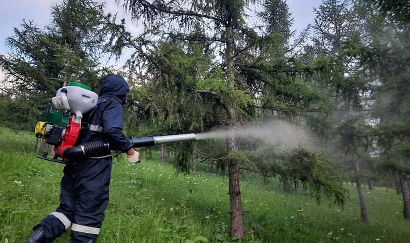 Нийслэлийн ногоон бүсийн ойн сангийн шавжийг устгаж байна
