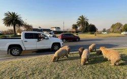 Капибара мэрэгч амьтан аргентинчуудыг цухалдуулав