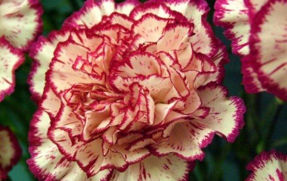 Башир болон чимэглэлийн цэцэгнээс шүлхий хачиг илэрчээ