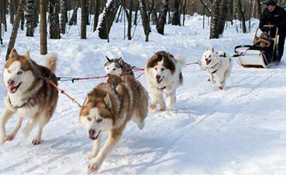 Нохой чарганы уралдаан Камчатскад эхэллээ