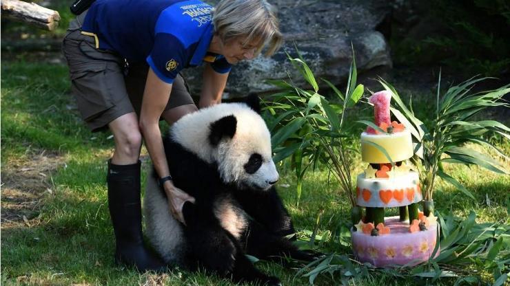 Панда нэг нас хүрч, төрсөн өдрийг нь тэмдэглэв