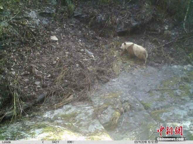 Хүрэн панда нэгээр нэмэгдэв