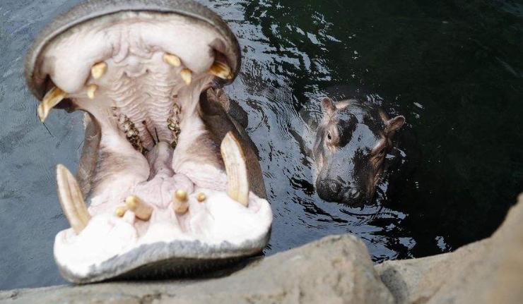 Усны үхэр хятад жуулчид руу дайрч хөнөөв