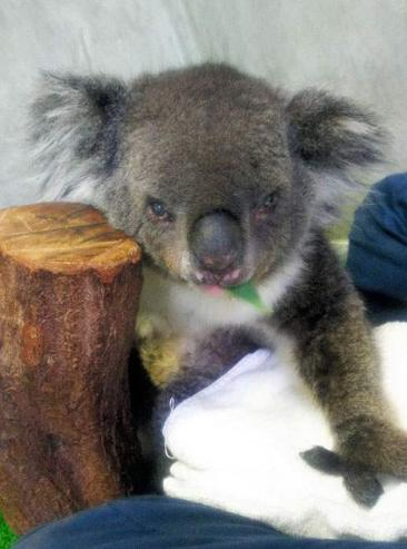 Урт насалсан коала баавгай үхжээ