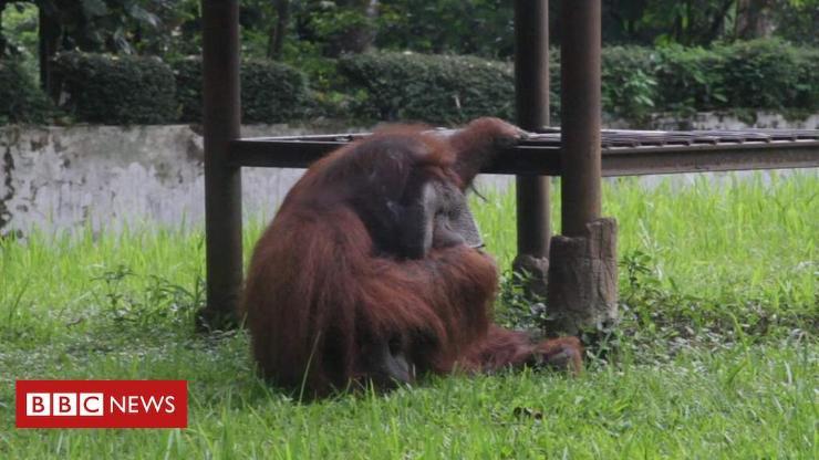 Орангутан сармагчин тамхи татжээ