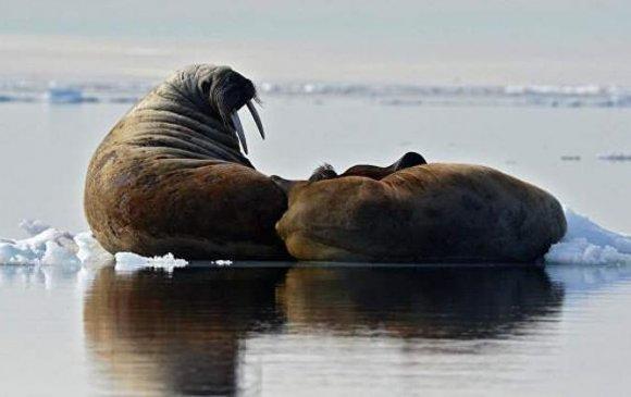 Чукоткийн далайн хавнууд цагаасаа эрт эх газарт гарчээ