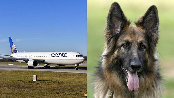 """""""United Airlines"""" зорчигчийн нохойг андууран Япон руу илгээжээ"""